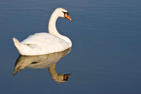 winterday: Swan with reflection on cold sunny winterday Stock Photo