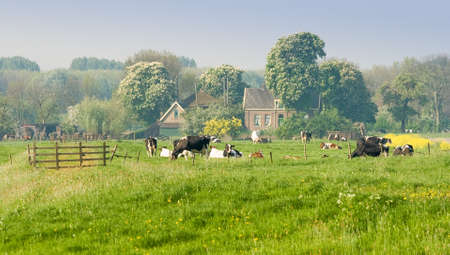 Dutch farm with cows and blooming trees on april morning photo