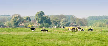 Dutch landscape with farm, blooming trees and cows  photo