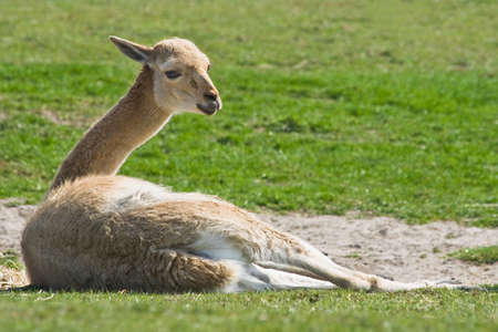 vicuna: Vicuna resting on the sand in the sun Stock Photo