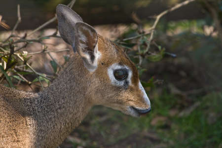 bashful: Kirks dik-dik is a bashful small african antelope
