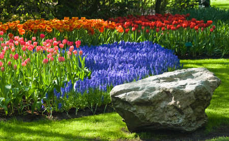 Spring time in park with blooming tulips and common grape hyacinth Stock Photo - 4388470