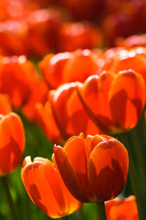 tulips in green grass: Glowing colors of red tulips in spring Stock Photo