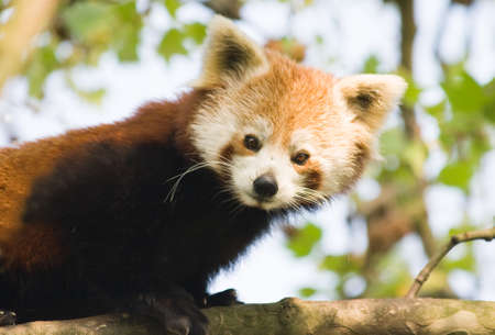 Curious red panda climbing in a tree photo