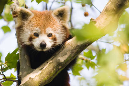 herbivorous animals: Red panda climbing in a tree and looking curious Stock Photo