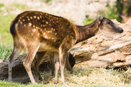 philippine: Philippine spotted deer-female with kid eating