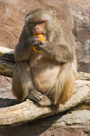 Rhesus monkey eten van Oranje in de zon