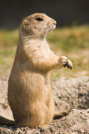 Prairie dog standing - in side angle view  photo
