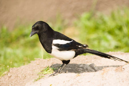 European Magpie or Common Magpie - bird from crow family Stock Photo - 4416472