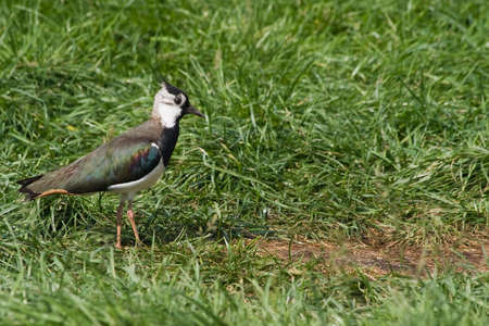 lapwing: Northern Lapwing is living and breeding on cultivated grasslands