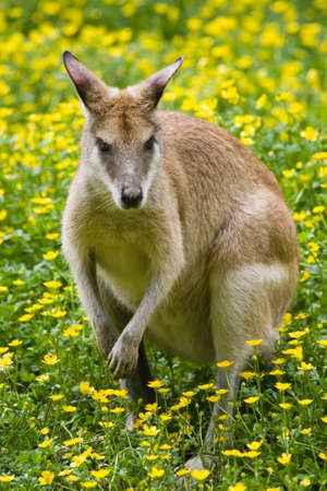 biped: Female wallaby between yellow buttercup flowers in spring