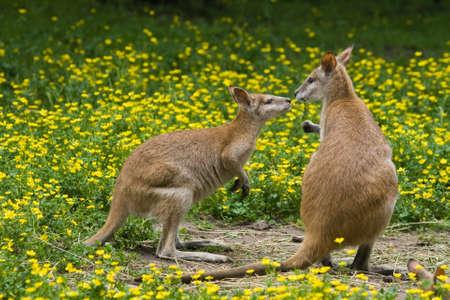 Two wallaby kangaroos between buttercup flowers in spring