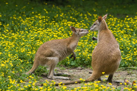 Two wallaby kangaroos between buttercup flowers in spring