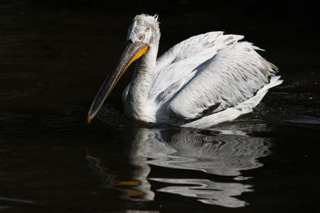 Swimming pelican in afternoon sunlight and reflection in the water Stock Photo - 4461581