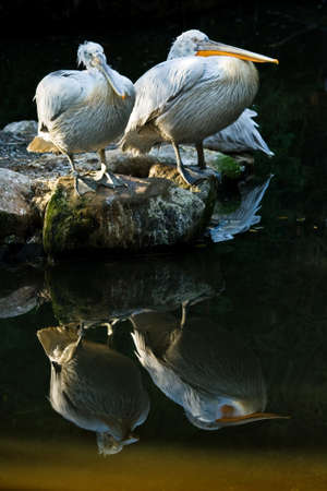 Pelicans standing on rocks with reflection in the water Stock Photo - 4461724