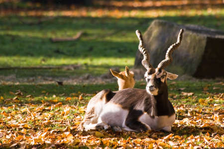 plains indian: Blackbuck or Indian antilope in autumn, male and female resting Stock Photo