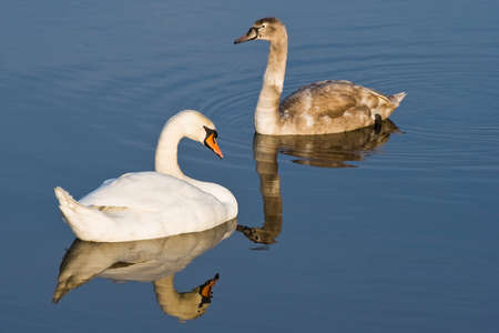 winterday: Two swans with reflection on cold sunny winterday Stock Photo