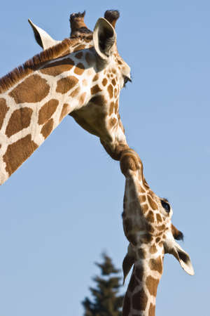 Giraffe mother and baby - love and care- with blue sky background
