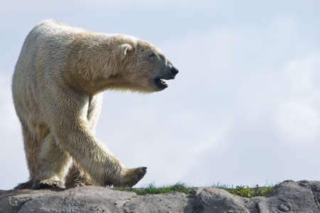 Polar bear walking around in the morning sun