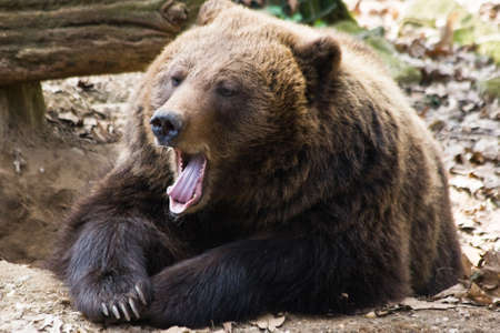 Brown bear relaxing in the sun and yawning