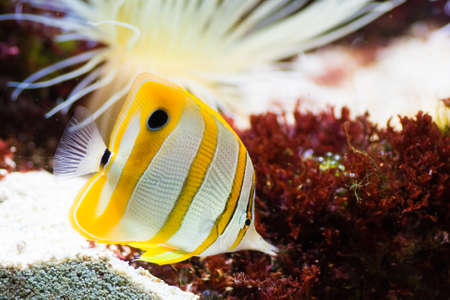 chelmon: Copperband Butterflyfish or Beak Coralfish with sea anemone Stock Photo