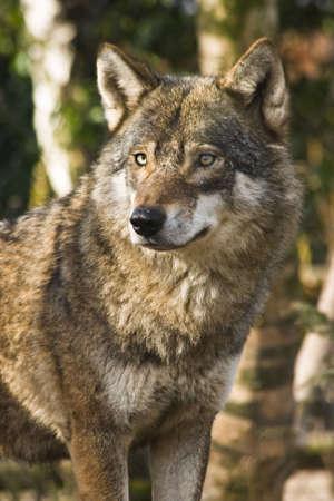 Grijze wolf staande tussen berken bomen in de winterzon