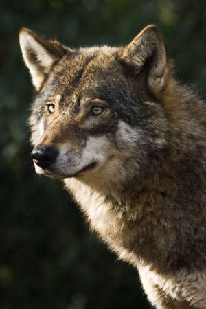 Alert grey wolf standing and staring in the sun on winter morning photo