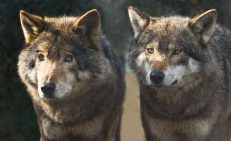 Two wolves standing together in the winter sun  photo