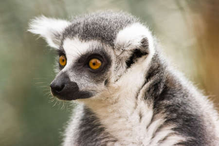 Ring-tailed lemur is endemic to the island of Madagascar Stock Photo
