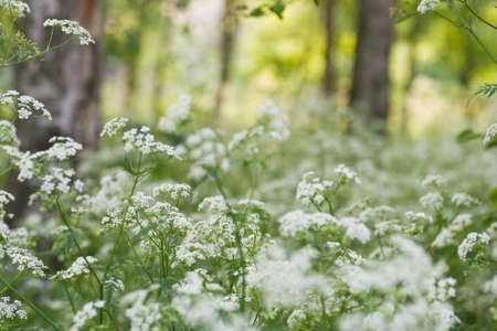 Evening light in april with Birch trees and white Cow Parsley  photo