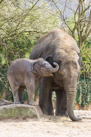 Playing asian baby elephant climbing on rock Stock Photo - 4635278