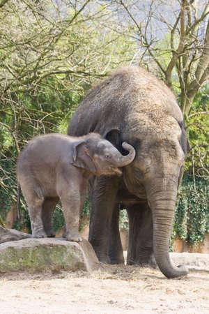 Playing aziatisch baby olifant klimmen op rots