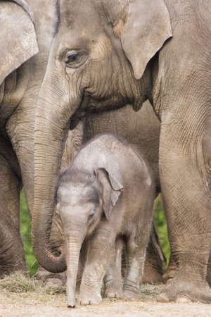Asian baby elephant standing between the big legs of her family