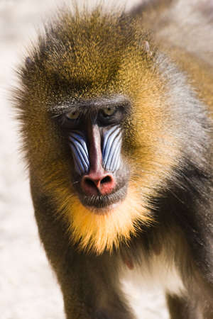 female mandrill fast running in afternoon sun Stock Photo - 4635288