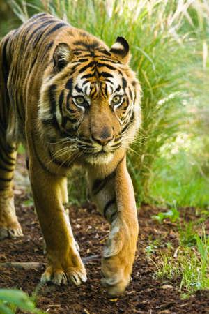 Asian tiger walking around on sunny morning photo