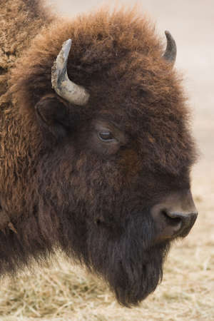 American bison or buffalo in side angle view Stock Photo