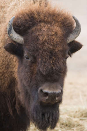 meadowland: Portrait of American bison or buffalo looking up