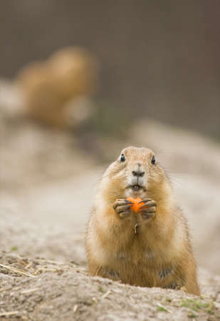 Female prairie dog eating piece of carrot photo