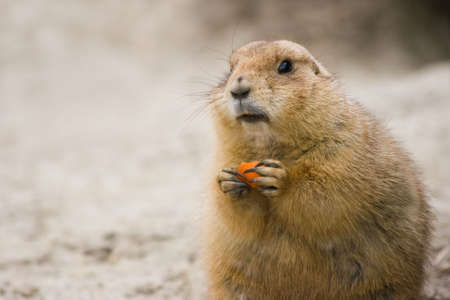 Prairie dog sitting with piece of carrot photo
