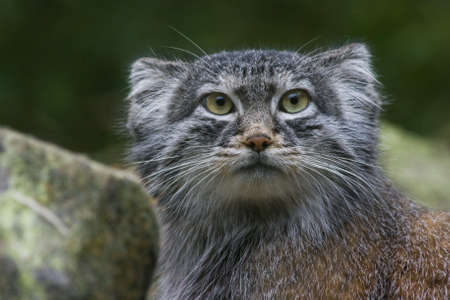 Solitair undomesticated wild cat living in Central Asia, Mongolia