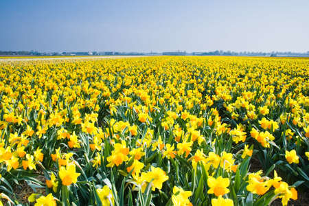 Field with yellow daffodils on april morning in the sun