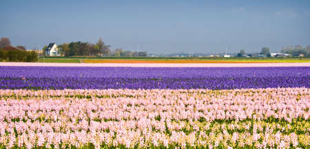 Hyacinth fields in purple and pink on april morning photo