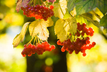 guelder: Guelder Rose or European Cranberrybush with berries in fall