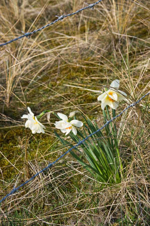 Blooming daffodils behind barbed wire entanglement Stock Photo - 4694466