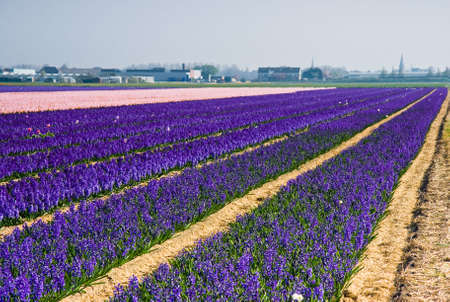Purple and pink hyacinth fields on morning in spring photo