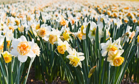 Field of double blooming white and yellow daffodils in close view Stock Photo - 4712427