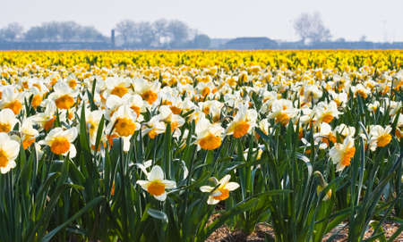 Fields full of daffodils in many colors blooming in the sun  photo