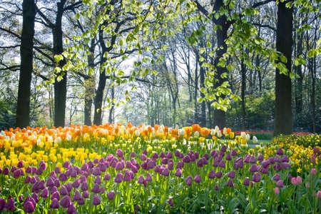 Lente bloemen, tulips en daffodils in april licht