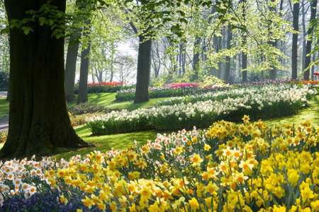 Daffodils and beechtrees in spring in early morning in park Stock Photo