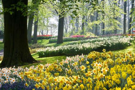 Narcissen en beechtrees in het voorjaar in de vroege ochtend in park